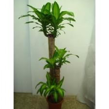 4尺巴西鐵樹1