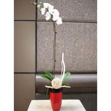 O-1白花