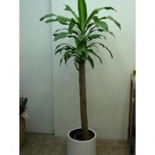 4尺巴西鐵樹