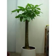 5呎發財樹