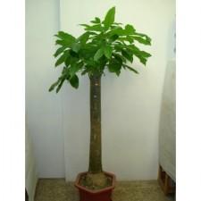 5呎發財樹1