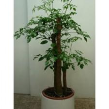 5尺富貴樹