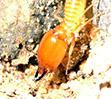 termite10.jpg